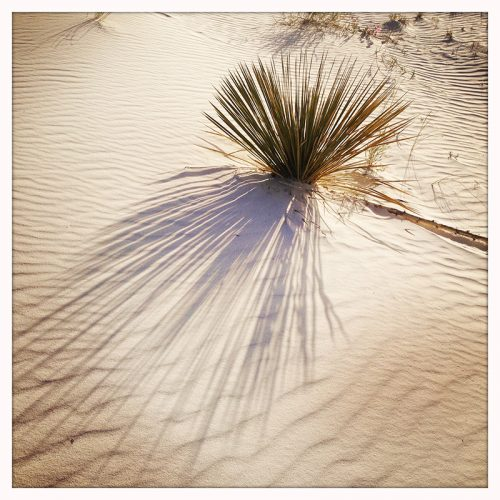 white sands baby yucca